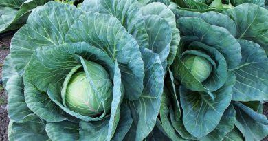 Основы выращивания белокочанной капусты