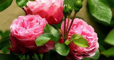 Правила ухода за розой — королевой сада