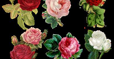 Самые неприхотливые сорта роз