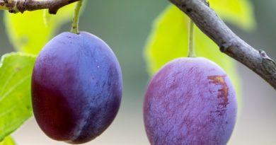 Создание благоприятных условий для сливовых деревьев