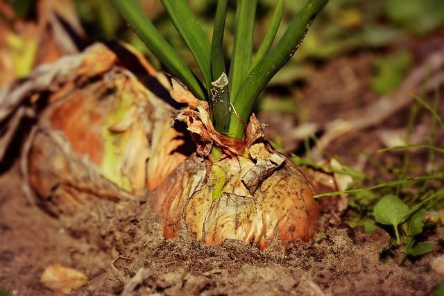 Условия выращивания крупного урожая лука