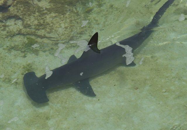 Зачем акуле нужна голова-молот?