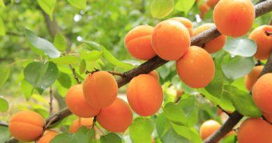 Лучшие морозостойкие сорта абрикосов для вашего садового участка