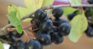 Рецепты наливки из черноплодной рябины