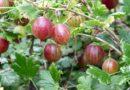 Самые сладкие сорта крыжовника для вашего сада
