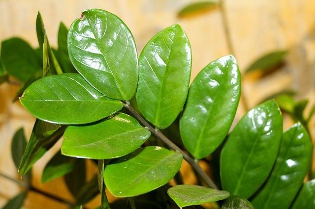 Замиокулькас — правильная обрезка долларового дерева