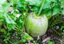 13 необычных корнеплодов, которые стоит вырастить на дачном участке