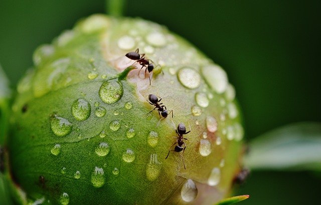 Как спасти пионы от муравьев. Эффективные методы борьбы: народные и готовые препараты