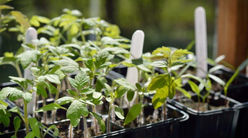 Как вырастить рассаду томатов и перца