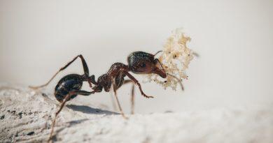 Манная крупа как опасное оружие против муравьев