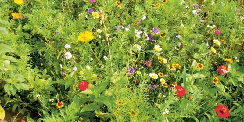 Мавританский газон — разнообразие красок