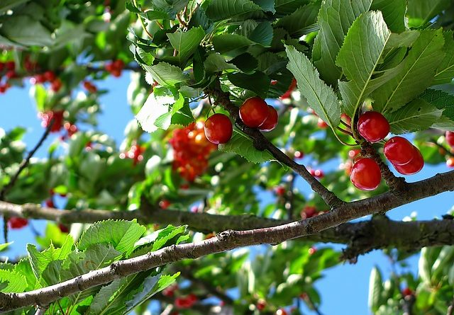 Можно ли спилить ветки соседского дерева, если они растут над вашим участком?