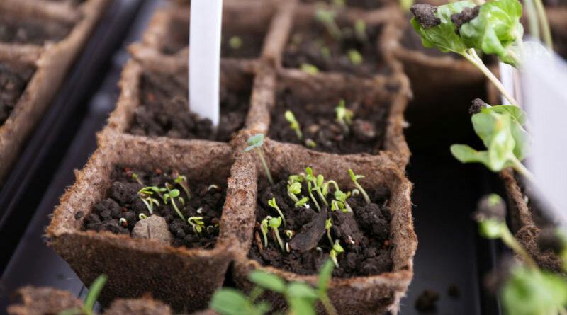 Правильное выращивание рассады в торфяных таблетках