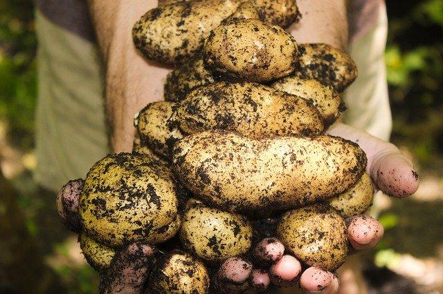 За выращенный картофель из своих семян - полагается штраф