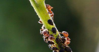 Беспокоит тля: методы избавления от надоедливого насекомого