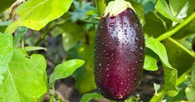 Искусство выращивания баклажанов в средней полосе