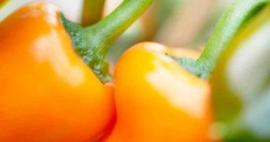 Лучшие подкормки для болгарского (сладкого) перца: периоды проведения и рецепты