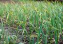 Маленькие хитрости при посадке чеснока: два компонента, которые в разы увеличат урожай