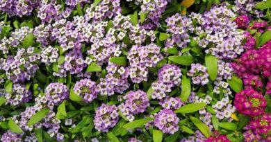 Находка для садовода — морозостойкие цветы