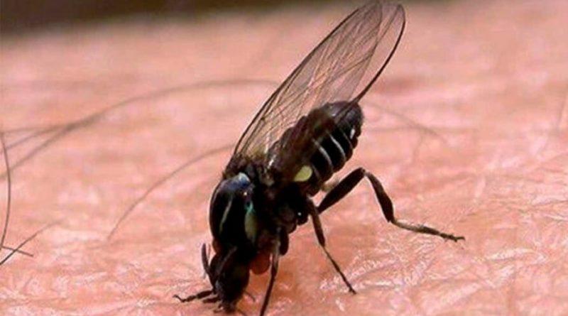 С каждым годом её всё больше - чёрная муха снова в Испании