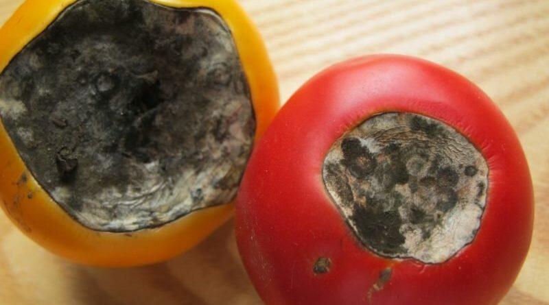 Враг томатов №1 — вершинная гниль: как распознать и бороться с заболеванием