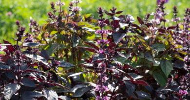 Базилик: фиолетовый или зеленый. Сходства и различия между ними
